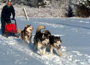 Væddeløb med hundeslæde